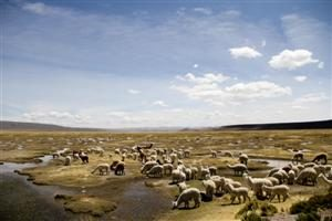 Gregge di alpaca