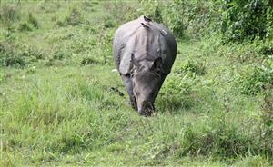 Rinoceronte al Parco Chitwan