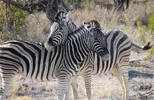Le zebre! mmm... bbone!